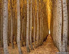 Poplar Tree Rows 102616 7172 6x7