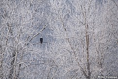 Frosty Trees Eagle 123020 7262 3