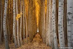 Rows of Poplar Trees 102616 7182