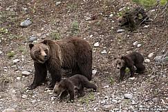 Grizzley Bear Cubs 061520 5032 2
