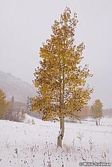 Lone Aspen Tree 101118 0383 2