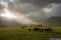 Cattle North Fields 052117 02881