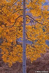 Aspen Deep Yellow Glow 100820 5182 2
