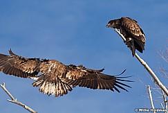 Golden Eagle 010613 334