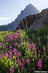 Teton Pink PrimroseF 081119 1291 4