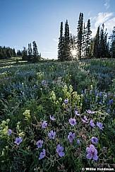 Geraniums Wildflower Sunburst 071916 0831