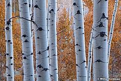 Rust Aspen Leaves Trunks 6
