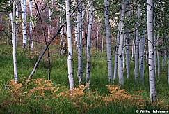 Ferns Aspens Autumn 091915 7289 2