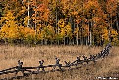 Fence Aspens Autumn 100115 3