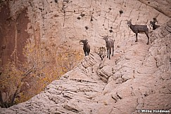 Desert Bighorn Capitol Reef 102719 2724