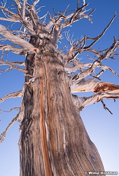 Old Bristle Cone Pine 031815 21211