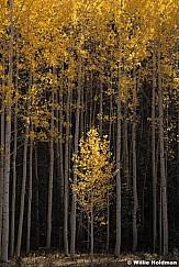 Yellow Aspen Tree 100520 4544 3
