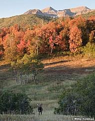 Bull Moose Autumn 092619 2093 2093