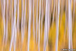 Yellow Aspens Imressionistic 26
