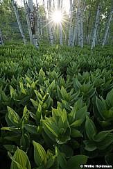 Skunk Cabbage Sunburst 060217 2891 2