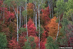 Maples In Wasatch 091720 8770 4