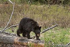 Black Bear Cub050817 5263