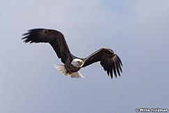 Bald Eagle In Flight 031421 5245 5