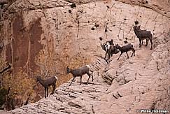 Desert Bighorn Capitol Reef 102719 3