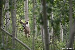 Inquisitive Deer 080218 4704