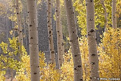 Golden Aspens 100819 7677 4
