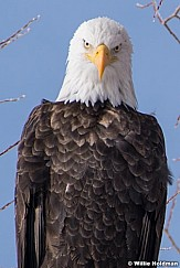 Bald Eagle 121920 5608-4