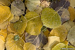 Aspen Leaves Frost 101317 1782