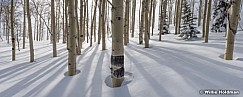 Aspen Winter Trunks Pano 030117 7851