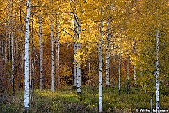 Golden Aspens Backlit 101017 1092