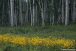 Yellow Sunflowers Aspen Grove 080921 0093 2