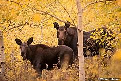 Moose Calf 101514 4573 2