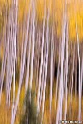 Yellow Pine Aspens 100813 0386