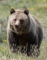 Grizzly Bear Tetons 061320 1840 2