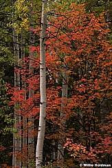 Red Maple Aspen 092513 4839