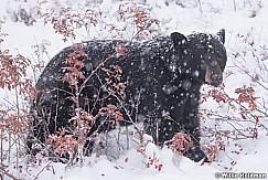 Black Bear Winter Berries 100118 6675