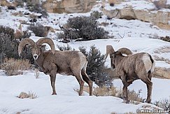 Desert Bighorn Sheep 012821 0342 2