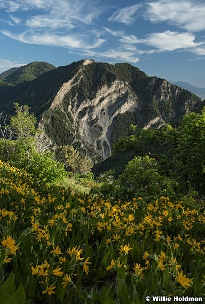 Yellow Daisies Rock Canyon 061416 5166 3