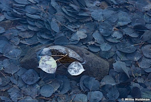 Aspen Leaves Iced 101517 2539 4