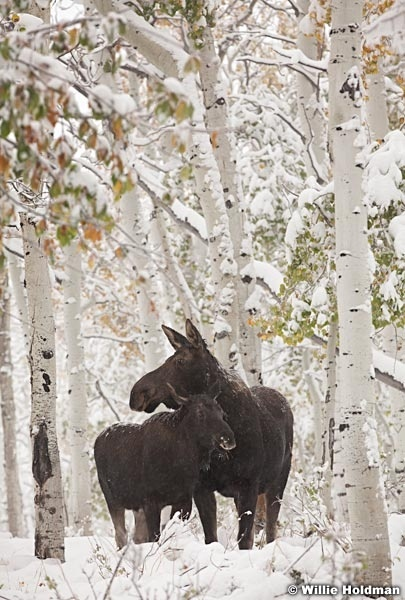 Cow moose baby 100711 168