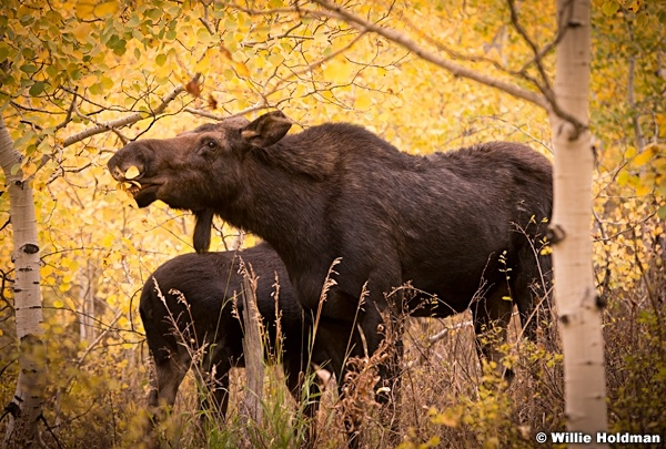 Moose Calf 101514 4573 2 2