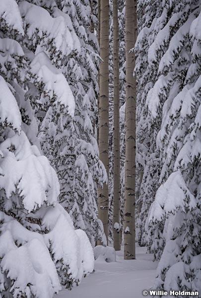 Forest Aspen Trunks 031319 0190