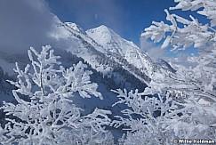 Frosty Aspen Trees 121912 530