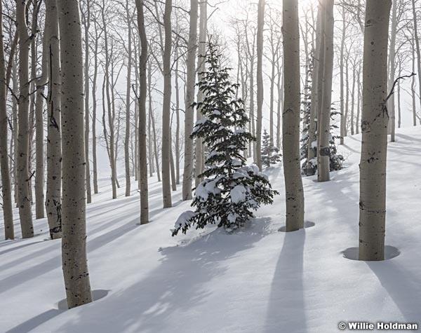 Soft Winter Snow Pine 010117 7911
