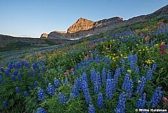 Timpanogos Wildflowers 080116 7039