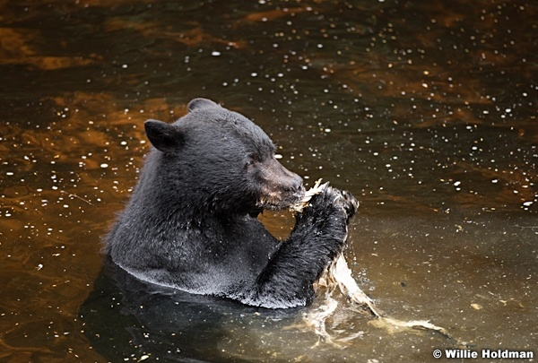 Black Bear Alaska 081916 5577