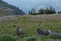 Timpanogos Big Horn Sheep 071915 0745 4