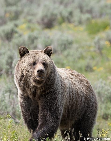Grizzly Bear Tetons 061320 1844 2