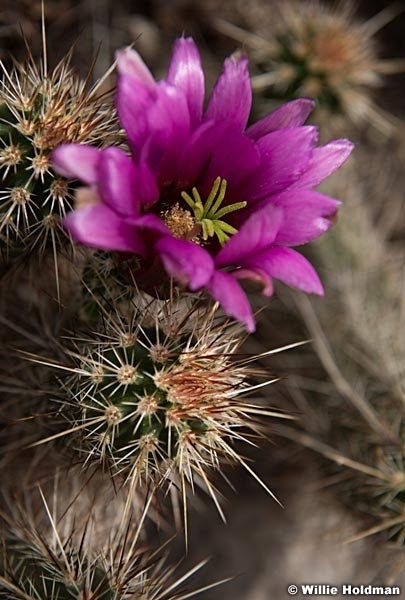 Fuchsia Cactus Grand Canyon 042417 merge 7121