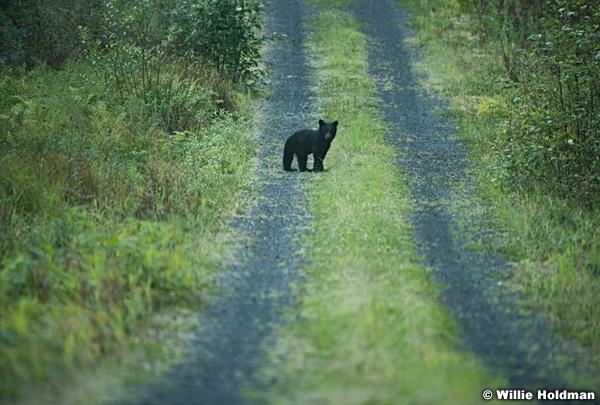 Alaska Bear Cub 081616 1749
