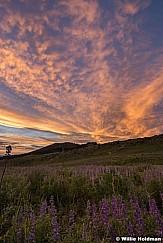 Lupine Sunset 072017 3770